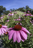 Echinacea flowers in garden Stock Photography