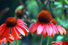 Echinacea Flowers Stock Photography