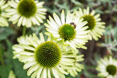 Echinacea flowers Stock Images