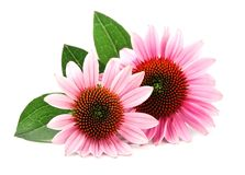 Echinacea flowers. Medicinal plant. Echinacea flowers close up isolated on white backgrounds. Medicinal plant royalty free stock image