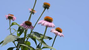 Echinacea flowers stock video footage