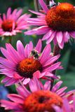 Echinacea flowers. Photo of purple echinacea flowers Stock Images