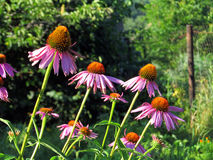 Echinacea flowers. Flowers purple coneflower on the summer garden Stock Photography
