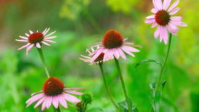 Echinacea flowers in rain stock video footage