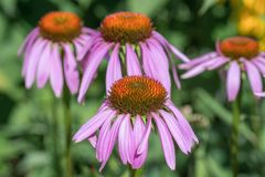 Echinacea flowers in summer garden. The Echinacea flowers in summer garden Stock Images