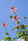 Echinacea flowers in vertical Stock Photo