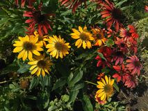 Echinacea flowers on the lawn stock photography