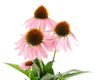 Echinacea flowers Royalty Free Stock Images