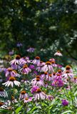 Echinacea in a forest glade. Echinacea in a summer forest glade Royalty Free Stock Photo