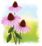 Echinacea on a fullcolor background. Royalty Free Stock Photos
