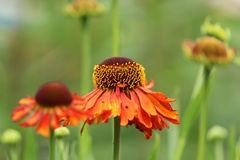 Echinacea purpurea orange passion stock photos