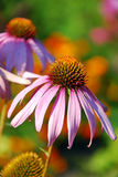 Echinacea in the garden Stock Photos