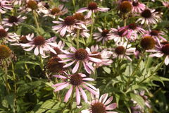 Echinacea group purple coneflowers Stock Images