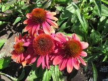 Echinacea grouping - Regina Stock Images