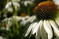 Echinacea-Höckerschwan stockbild