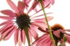 Echinacea Herbal Flower Royalty Free Stock Image