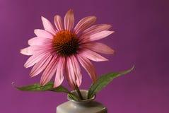 Echinacea Herbal Flower Stock Photos