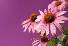 Echinacea Herbal Flower Stock Photo