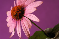 Echinacea Herbal Flower Royalty Free Stock Photography