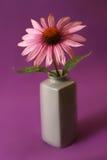 Echinacea Herbal Flower Stock Image