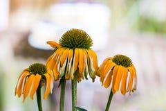 Echinacea het gele bloemen bloeien Echinacea gebruikte in alternatieve geneeskunde een immun sytem spanningsverhoger royalty-vrije stock fotografie