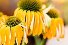 Echinacea het gele bloemen bloeien Echinacea gebruikte in alternatieve geneeskunde een immun sytem spanningsverhoger stock fotografie