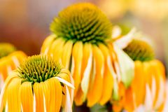 Echinacea het gele bloemen bloeien Echinacea gebruikte in alternatieve geneeskunde een immun sytem spanningsverhoger stock foto's