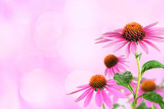 Echinacea for homeopathy. Echinacea flowers for medicine with bokeh background Royalty Free Stock Image