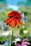 Echinacea Hot Papaya. Hot Payaya Echinacea blooming in the garden Royalty Free Stock Photos
