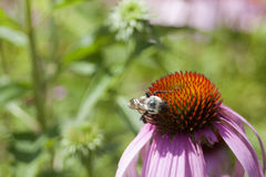 Echinacea i blom royaltyfri foto