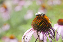 Echinacea i blom Fotografering för Bildbyråer