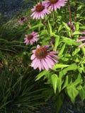 Echinacea i blom i en parkera Arkivfoto