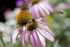 Echinacea i insekty Zdjęcia Royalty Free