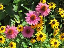 Echinacea i Z Podbitym Okiem Susan Obrazy Royalty Free