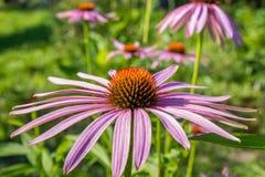 Echinacea im Garten Stockfotos