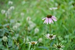 Echinacea im grünen Garten lizenzfreies stockbild