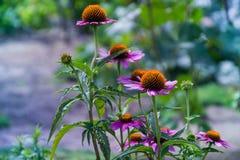 Echinacea im Sommergarten Ukraine stockfoto