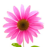 Echinacea. Isolated, previously classified as Rudbeckia stock image