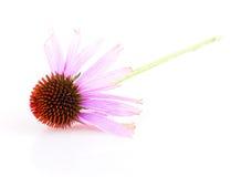 Echinacea Royalty Free Stock Photography