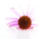 Echinacea. Isolated on white background royalty free stock photos