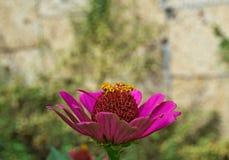 Echinacea kolorowy kwitnący duży kwiat w ogródzie, Zdjęcie Royalty Free