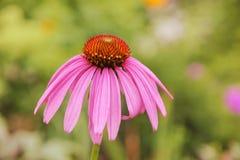 Echinacea kwiat Fotografia Stock