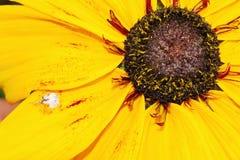 Echinacea kwiat Obrazy Royalty Free