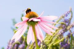 Echinacea kwiat z bumblebee Fotografia Royalty Free