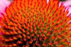 echinacea kwiatu macro strzał zdjęcie stock