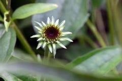 Echinacea kwiatu Szyszkowy pączek Obrazy Stock