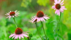 Echinacea kwitnie w deszczu zbiory wideo