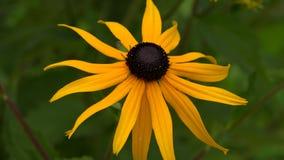 Echinacea Margarida amarela 4K video estoque