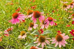 Echinacea Marvels Deep Pink Pizazz™ Coneflower. Close up landscape shot of Echinacea Marvels Deep Pink Pizazz Coneflowers. Multiple pink blooms in Royalty Free Stock Photo