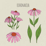 Echinacea medical botanical isolated illustration. Plant, flowers, leaves hand drawn set. Vintage colorful sketch. Royalty Free Stock Image
